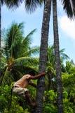 Mannen klättrar en kokospalm Royaltyfri Bild