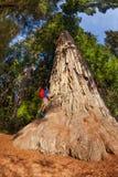 Mannen klättrar på stort träd i redwoodträdet Kalifornien Fotografering för Bildbyråer