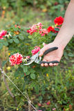 Mannen klipper av rosen Arkivbild