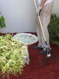 Mannen krattar komposttäckning för blommaträdgård Arkivfoto