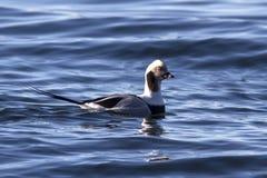 Mannen lång-tailed änder som svävar i vattnet, övervintrar Arkivbilder