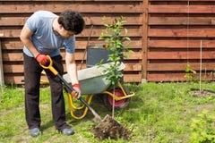 Mannen planterar en körsbär i trädgård Arkivfoto