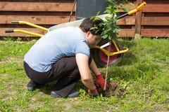 Mannen planterar en körsbär i trädgård Royaltyfri Foto