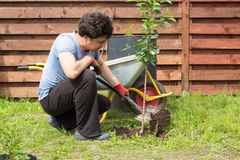 Mannen planterar en körsbär i trädgård Arkivbild