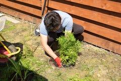 Mannen planterar thujaen i en trädgård Arkivbild