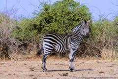 Mannen plattar till sebran, Equusquaggaen, Zimbabwe Fotografering för Bildbyråer