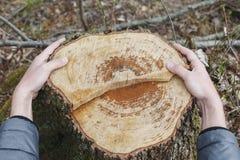Mannen räcker att omfamna en stubbe av det avverkade trädet Royaltyfria Bilder