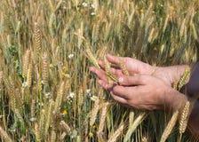 Mannen räcker hållande vetespikelets i fältet på solig dag, ny skörd royaltyfri foto