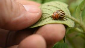 Mannen samlar Colorado skalbaggar som äter potatissidor parasit och plågor avlägsnar skörden på fältet Närbild arkivfilmer
