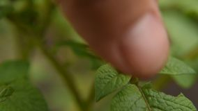 Mannen samlar Colorado skalbaggar som äter potatissidor parasit och plågor avlägsnar skörden på fältet Närbild stock video