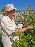 Mannen samlar en chernoplodny bergaska på en dacha Royaltyfria Foton