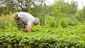 Mannen samlar en jordgubbe i trädgården, medan samla bär Jordgubbeskördsäsong stock video