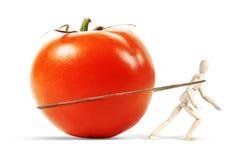 Mannen släpar en enorm mogen tomat Royaltyfri Foto