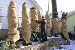 Mannen slår in buskar i säckväv arkivfoto