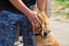 Mannen slår hunden Boerboel Fotografering för Bildbyråer