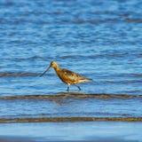Mannen Stång-tailed godwiten, eller Limosalapponicaen går på kusten i vågor, ståenden, den selektiva fokusen, grund DOF arkivbild