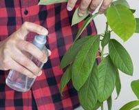 Mannen tar omsorg av avokadosidor hemma royaltyfri fotografi
