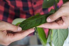 Mannen tar omsorg av avokadosidor hemma royaltyfri bild