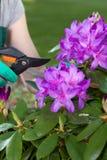 Mannen tar omsorg av violetta blommor Arkivbilder