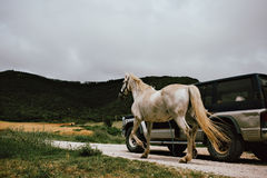 Mannen transporterar en häst med en bil arkivfoto