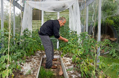 Mannen växer tomater i växthus Arkivfoto