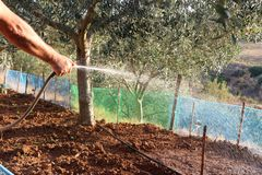 Mannen vattnar med slang den bruna jorden, når han har planterat grönsaker i trädgården royaltyfria bilder