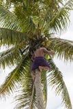 Mannen väljer upp kokosnöten från palmträdet Royaltyfri Fotografi