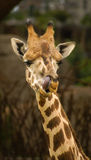 Manners of a giraffe, Valencia, Spain. Image of a giraffe. Manners, behavior, communication Royalty Free Stock Images