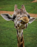 Manners of a giraffe, Valencia, Spain. Image of a giraffe. Manners, behavior, communication Royalty Free Stock Photos