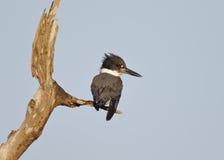 Mannesumgeschnallter Eisvogel hockte auf einem toten Zweig - Florida Lizenzfreie Stockbilder