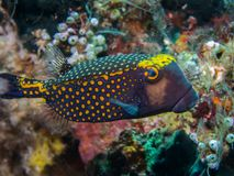 Mannetje Bevlekte Boxfish royalty-vrije stock afbeelding