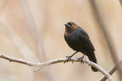 Mannetje bruin-Geleide Cowbird Stock Foto