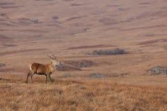 Mannetje dat op het Juragebergte in Schotland wordt gefotografeerd Royalty-vrije Stock Afbeelding