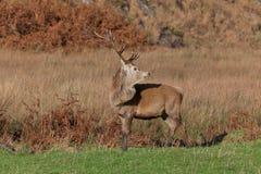 Mannetje dat op het Juragebergte in Schotland wordt gefotografeerd Royalty-vrije Stock Afbeeldingen