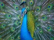 Mannetje die peafowl zijn trein tonen royalty-vrije stock fotografie
