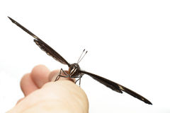 Mannetje die van grote eggflyvlinder op hand rusten Stock Afbeelding