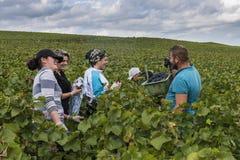 Mannetje en Vrouwelijke werknemers Champagne in Verzy Stock Afbeelding