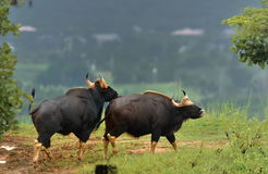 Mannetje gaurs en wijfjes in de aard Royalty-vrije Stock Foto's