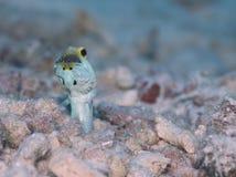 Mannetje geel-Geleide Jawfish-mond het broeden eieren, Bonaire, Nederlandse Antillen Stock Foto's