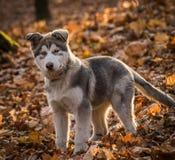 Mannetje het Van Alaska van de wolfszweerfamiliaris van Pupymalamute Canis stock foto's