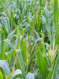 Mannetje inflorescense van maïs, Zea mays Stock Afbeelding