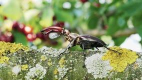 Mannetje-kever die op een tak van een boom kruipen stock footage