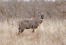 Mannetje kleinere kudu in Keniaanse savanne. Royalty-vrije Stock Afbeeldingen