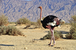 Mannetje van Afrikaanse struisvogel (camelus Struthio) Royalty-vrije Stock Fotografie