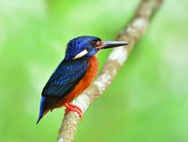 Mannetje van blauw-Eared ijsvogel & x28; Alcedo meninting& x29; wat beauti Stock Fotografie