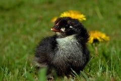 Mannetje van de één tot twee dagen het oude kip, van het Hedemora-ras in Zweden stock afbeeldingen