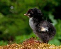 Mannetje van de één tot twee dagen het oude kip, van het Hedemora-ras in Zweden stock fotografie
