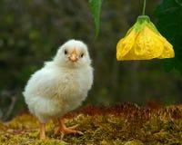 Mannetje van de drie tot vier dagen het oude kip, van het Hedemora-ras in Zweden stock foto's