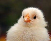 Mannetje van de drie tot vier dagen het oude kip, van het Hedemora-ras in Zweden royalty-vrije stock foto's