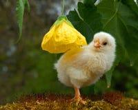 Mannetje van de drie tot vier dagen het oude kip, van het Hedemora-ras in Zweden royalty-vrije stock fotografie
